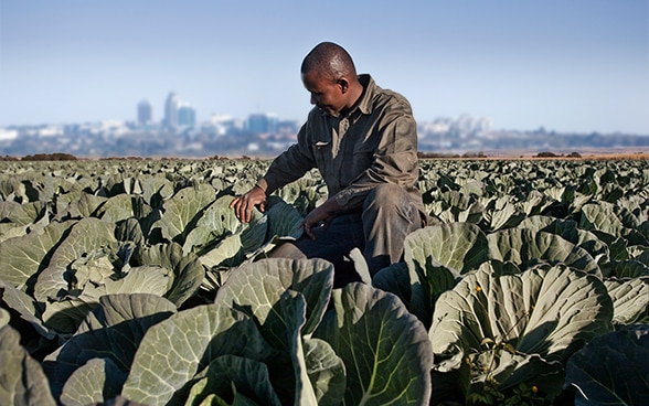 An african man knees in a cabbage field and examines the leaves. . A city is visible in the distance.