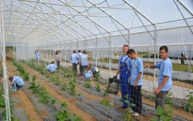Trainees at work in a greenhouse for vegetable production