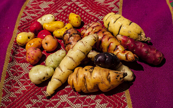 Various varieties of potato on a colourful cloth.