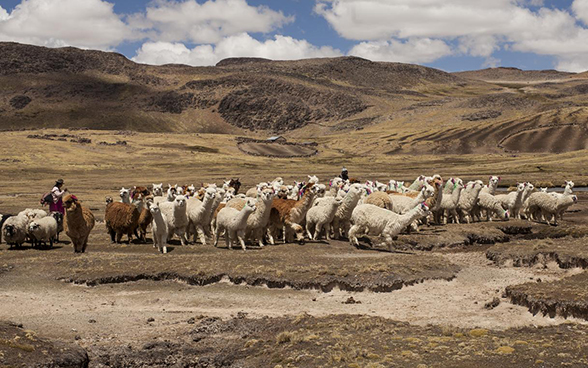 A herd of llama grazes in the Peruvian highlands.